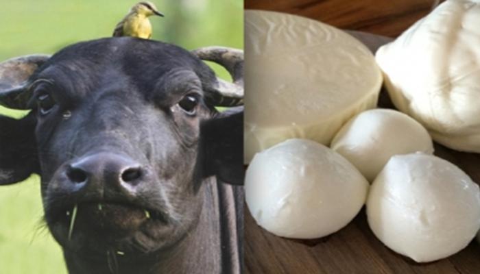 queso y búfalo